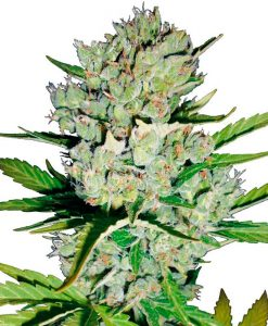 Super Skunk Autofloreciente