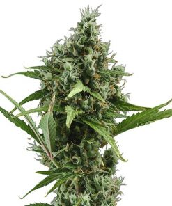 Neville Haze Hybrid (Female Seeds)