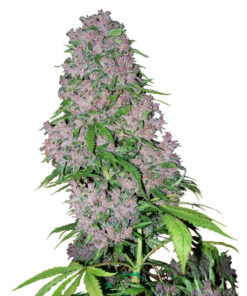 purple bud xl