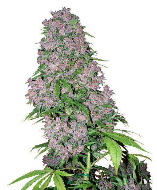 purple bud xl
