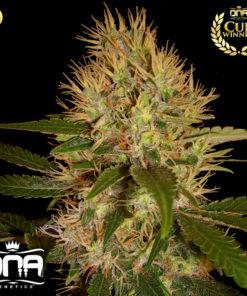 g13 dna genetics semilla de marihuana