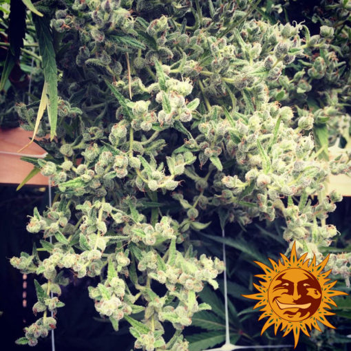 semilla marihuana dr grinspoon