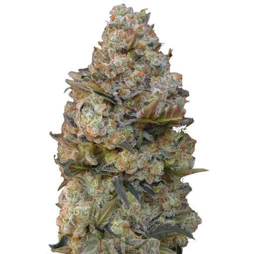 Semilla de Marihuana 00 Kush - 00 Seeds Auto