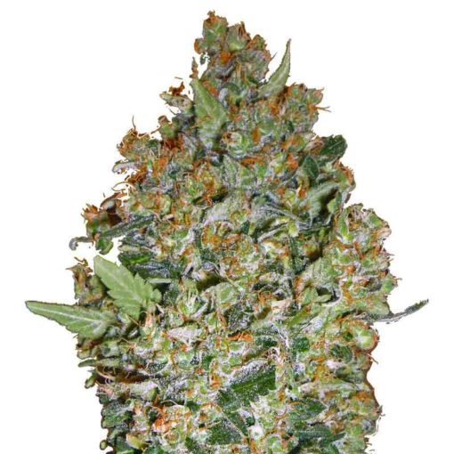 Semilla de Marihuana 00 Kush de 00 Seeds