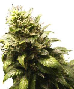 Semilla de Marihuana AK 48 - Nirvana Seeds