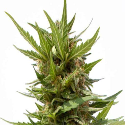 Semilla de Marihuana AK Mir Auto - Sputnik Seeds