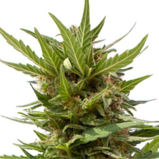 Semilla de Marihuana AK Mir - Sputnik Seeds