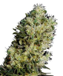 Semilla de Marihuana Amnesia Bilbo Auto - Genehtik Seeds