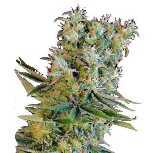 Semilla de Marihuana Amnesia Bilbo - Genehtik Seeds