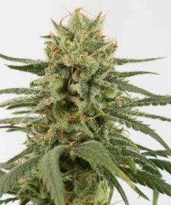 Semilla de Marihuana Amnesia CBD - Dinafem Seeds