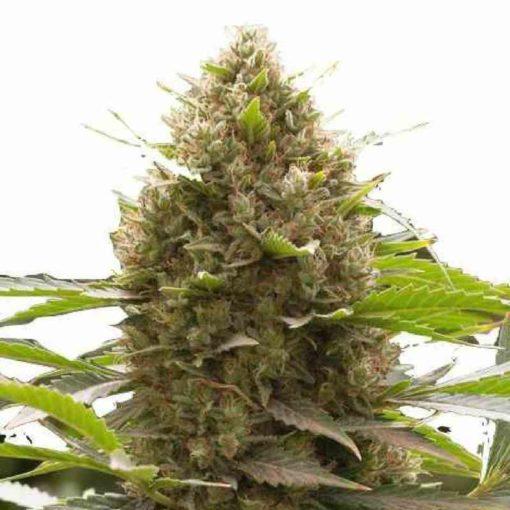 Semilla de Marihuana Amnesia Kush - Dinafem Seeds