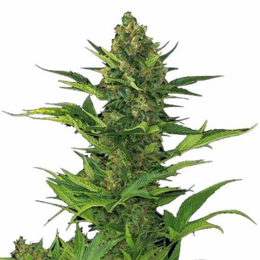 Semilla de Marihuana Amnesia XXL Auto - Dinafem Seeds