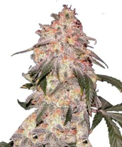 Semilla de Marihuana Aurora Indica - Nirvana Seeds