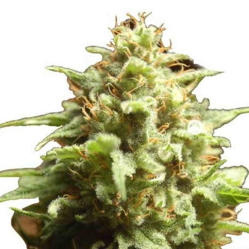 Semilla de Marihuana B3 Medical - Pure Seeds