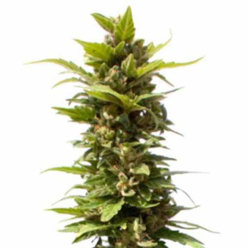 Semilla de Marihuana Black Domina Explosion - Sputnik Seeds
