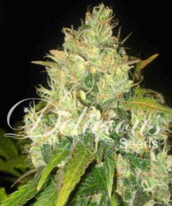 Semilla de Marihuana Black Russian - Delicious Seeds