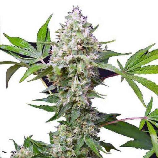 Semilla de Marihuana Blow Mind Auto - Sweet Seeds
