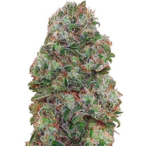 Semilla de Marihuana Bubble Gum - 00 Seeds