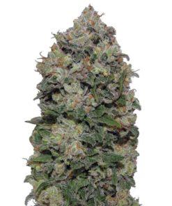 Semilla de Marihuana Bubble Gum - 00 Seeds Auto
