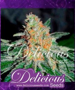 Semilla de Marihuana CBD Jam - Delicious Seeds