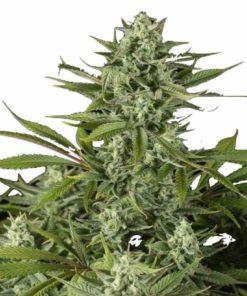 Semilla de Marihuana Cheese CBD - Dinafem Seeds