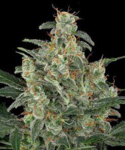 Semilla de Marihuana Cheese - Dinafem Seeds Auto
