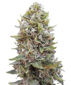 Semilla de Marihuana Chocolate Skunk - 00 Seeds