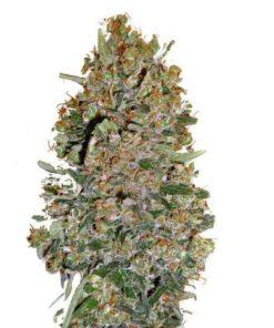 Semilla de Marihuana Chocolate Skunk - 00 Seeds Auto