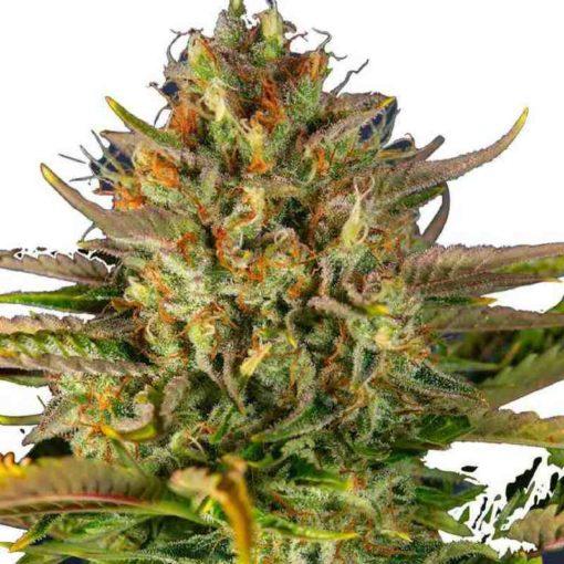 Semilla de Marihuana Cream Mandarine XL Auto - Sweet Seeds