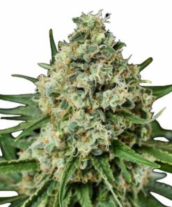 Semilla de Marihuana Critical + 2.0 - Dinafem Seeds