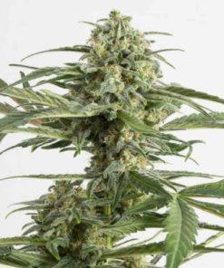Semilla de Marihuana Critical Cheese - Dinafem Seeds