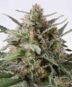 Semilla de Marihuana Critical + - Dinafem Seeds