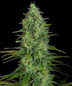 Semilla de Marihuana Critical Jack - Dinafem Seeds