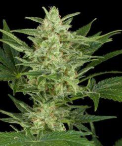 Semilla de Marihuana Critical Jack - Dinafem Seeds Auto