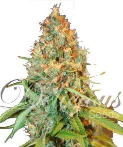 Semilla de Marihuana Critical Kali Mist - Delicious Seeds