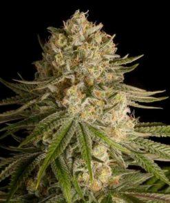 Semilla de Marihuana Critical Kush - Dinafem Seeds
