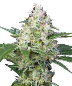 Semilla de Marihuana Crystal Candy - Sweet Seeds