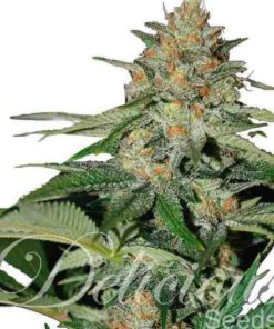 Semilla de Marihuana Delicious Candy - Delicious Seeds