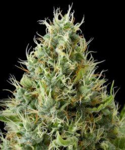 Semilla de Marihuana Dinamex - Dinafem Seeds