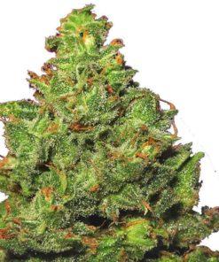 Semilla de Marihuana Edelweiss - Flying Dutchmen