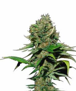 Semilla de Marihuana Excalibur - EVA Seeds