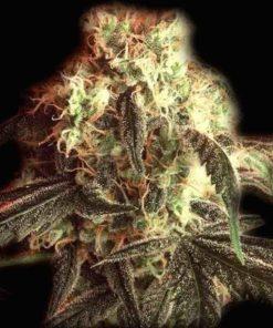 Semilla de Marihuana Fast Ryder I - Bulldog Seeds