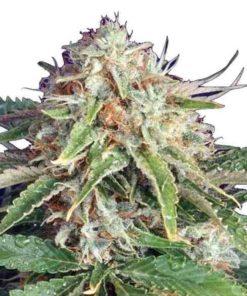 Semilla de Marihuana Fast Ryder II - Bulldog Seeds Auto