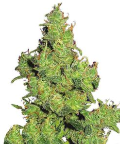 Semilla de Marihuana Flying Dragon - Flying Dutchmen