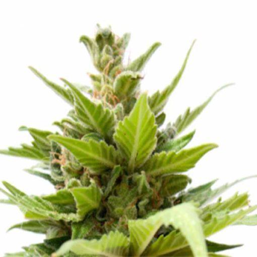 Semilla de Marihuana Galaxy Cheese Auto - Sputnik Seeds