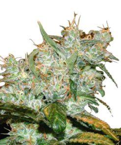 Semilla de Marihuana Goxuak Auto - Genehtik Seeds