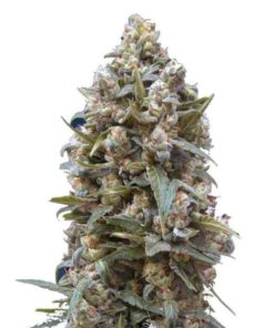 Semilla de Marihuana Hashchis Berry - 00 Seeds