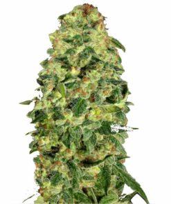 Semilla de Marihuana Hashchis Berry Auto - 00 Seeds