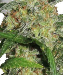 Semilla de Marihuana Hass Plant G-13 - Sputnik Seeds