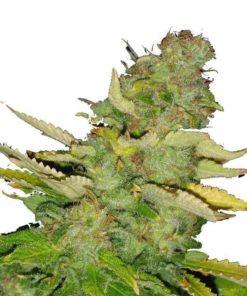 Semilla de Marihuana Hawaii Maui Waui - Nirvana Seeds